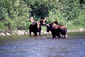 Moose below Quittagene Rapids.